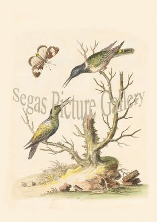 Humming Bird, White-Bellyed. Green And Blue Humming Bird. Brown And White-Spotted Butter-Fly From China